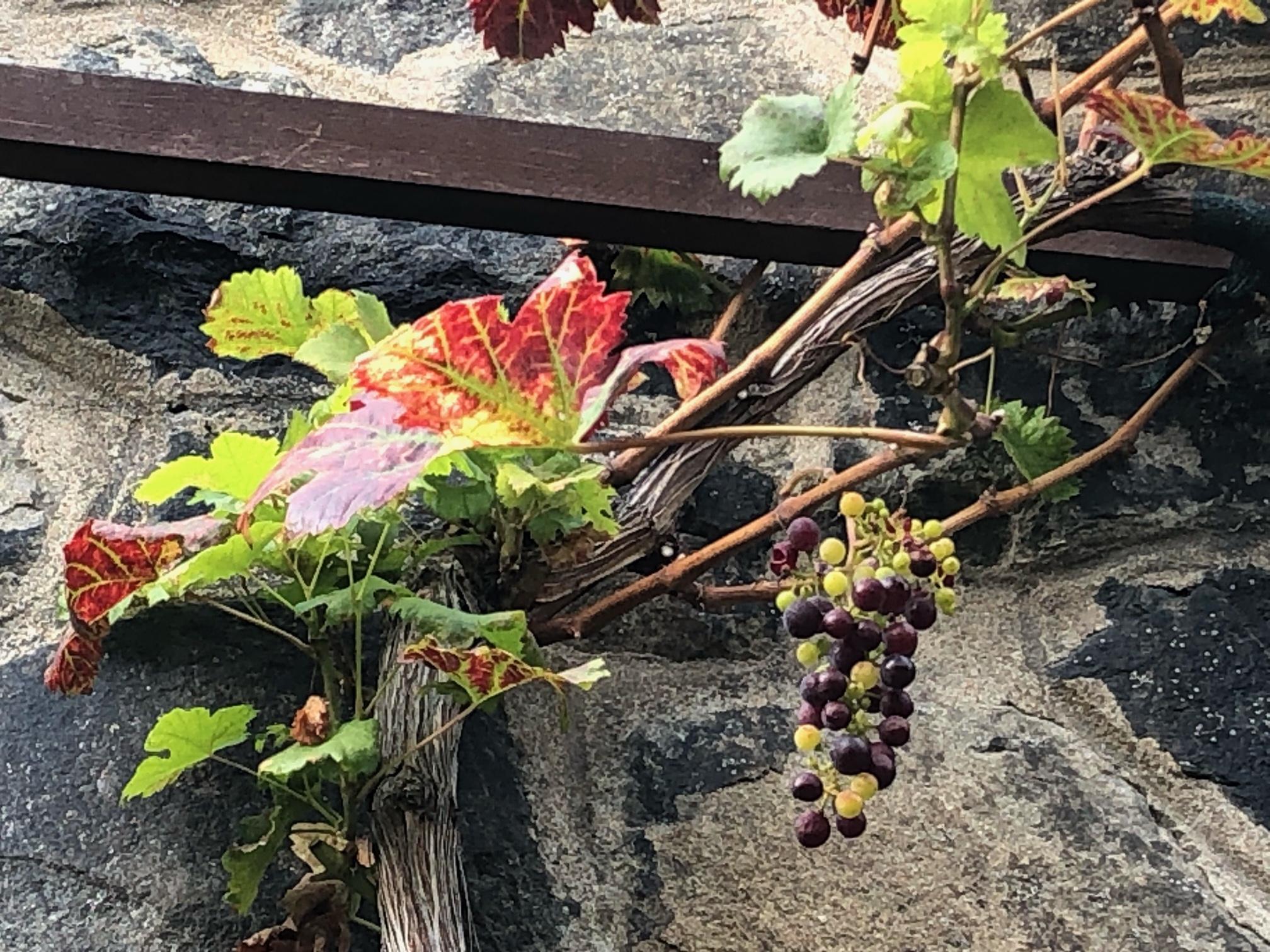 oldest vine in Prague